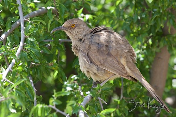 Curve-billed Thrasher, in fluffed up birds, (c) Photo by Steve Kaye
