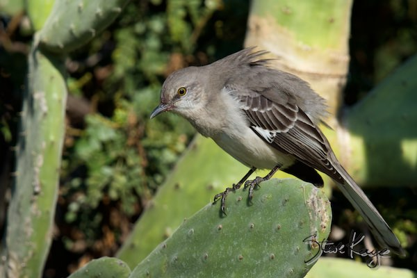 Northern Mockingbird, in the Bird Who Knew Too Much, (c) Photo by Steve Kaye