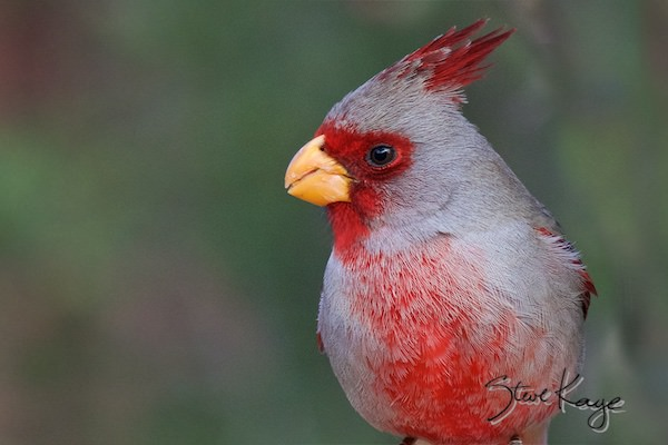 Pyrrhuloxia, Male, (c) Photo by Steve Kaye, in Birds Up Close