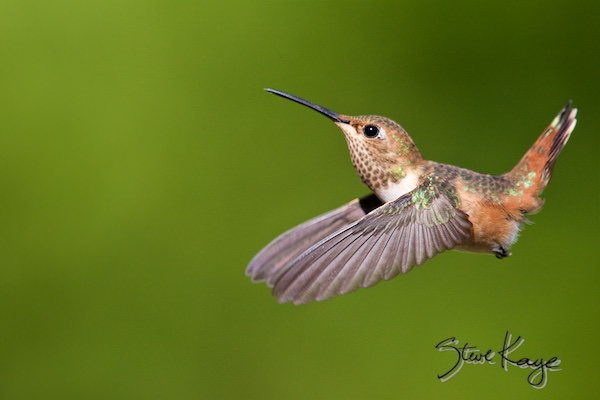 Allen's Hummingbird, Female, (c) Photo by Steve Kaye, in Photo Backgrounds Matter