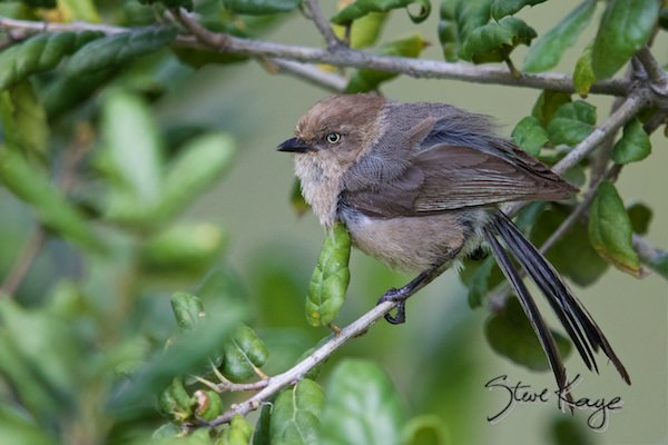 Bushtit, Female, (c) Photo by Steve Kaye