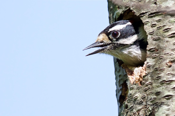 Downy Woodpecker, Male, (c) Photo by Steve Kaye, in Woodpeckers Have Important News