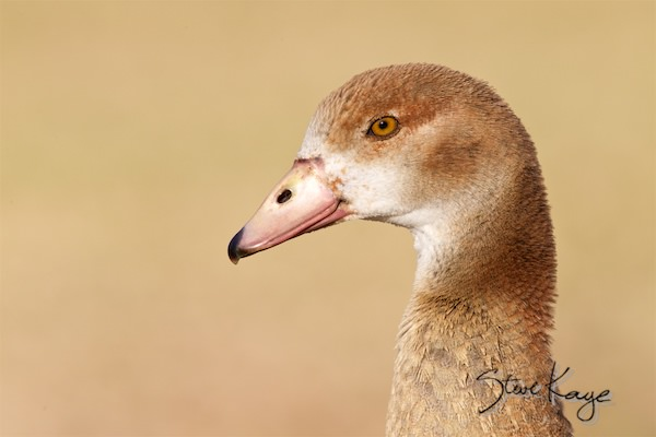 Egyptian Goose, Juvenile, © Photo by Steve Kaye, in Birds Up Close