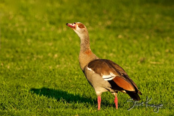 Egyptian Goose, Male, © Photo by Steve Kaye, in Meet Father Goose