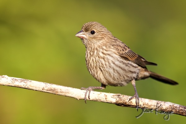House Finch, Female, (c) Photo by Steve Kaye, in House Finch Project