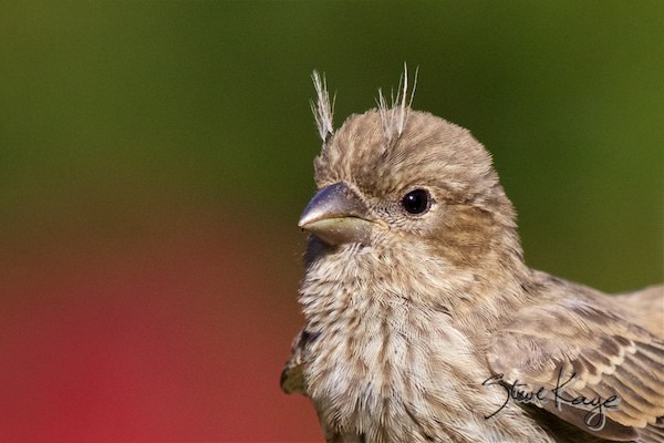 House Finch, Juvenile, (c) Photo By Steve Kaye, In Meet The