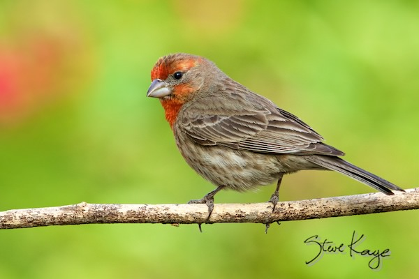 House Finch, Male, (c) Photo by Steve Kaye, in House Finch Project