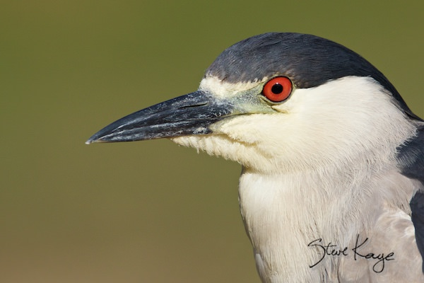Black-crowned Night-Heron, © Photo by Steve Kaye, in blog post about Focus