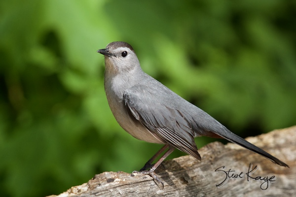 Gray Catbird, © Photo by Steve Kaye, in post: Hey Ma, Look at Me! No Wings!