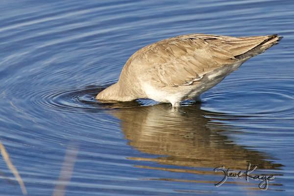 Willet, © Photo by Steve Kaye, in Blog post about Focus