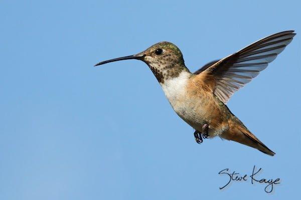 Allen's Hummingbird, © Photo by Steve Kaye, in Little Big Bird