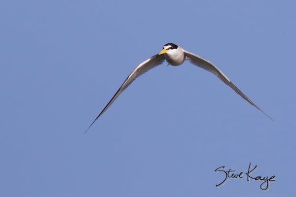 Least Tern, © Photo by Steve Kaye, in Watchlist Birds