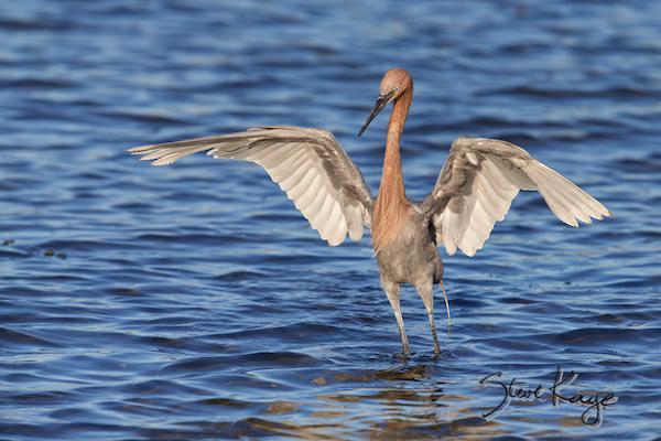 Reddish Egret, © Photo by Steve Kaye, in Watchlist Birds