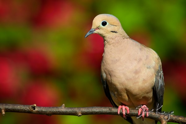 Mourning Dove, © Photo by Steve Kaye, in Business Experts