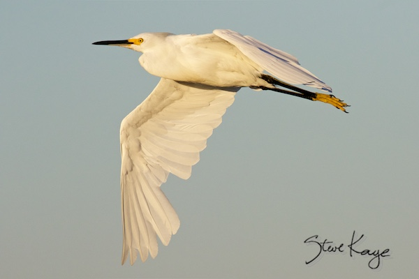 Snowy Egret, © Photo by Steve Kaye, in Don't cry for me Audubon