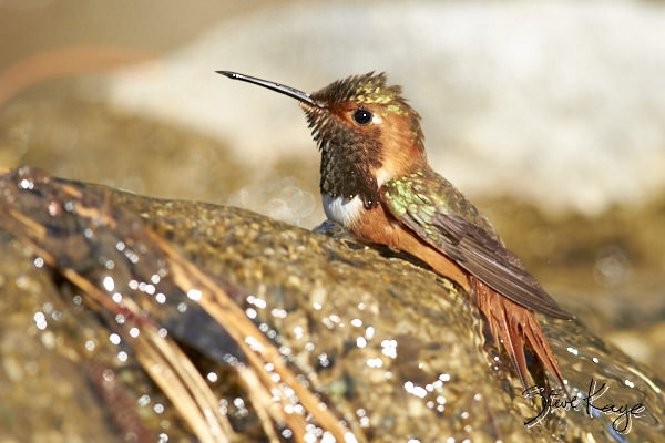Allen's Hummingbird, Male, © Photo by Steve Kaye, in Post: Uncommon Hummingbird Photos