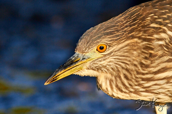 Black-crowned Night-Heron, Juvenile, © Photo by Steve Kaye, in post: Transitions in Photography