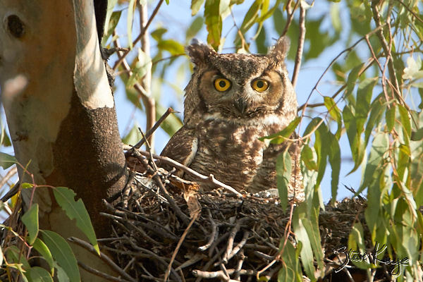 "Great Horned Owl, © Photo by Steve Kaye, in blog ""Shudder at These Spooky Birds"""
