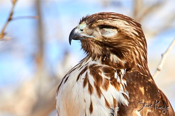 Red-tailed Hawk, © Photo by Steve Kaye, in post: Kids Ask the Most Incredible Questions