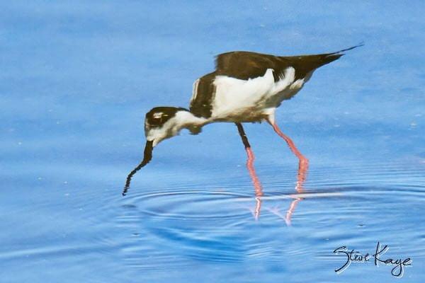 "Black-necked Stilt, © Photo by Steve Kaye, in blog ""Shudder at These Spooky Birds"""