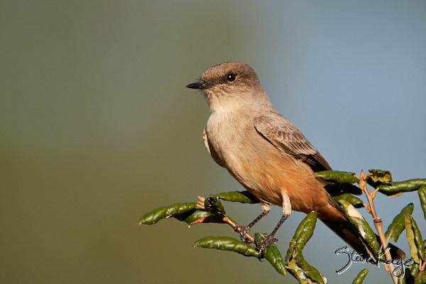 """Say's Phoebe, © Photo by Steve Kaye, in blog post, """"More Than Thanksgiving"""""""