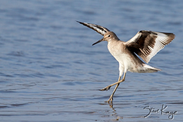 Willet, Photo by Steve Kaye, in blog post: Landing on Year End