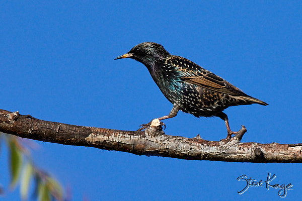 European Starling, © Photo by Steve Kaye, in Blog post: Back to Work