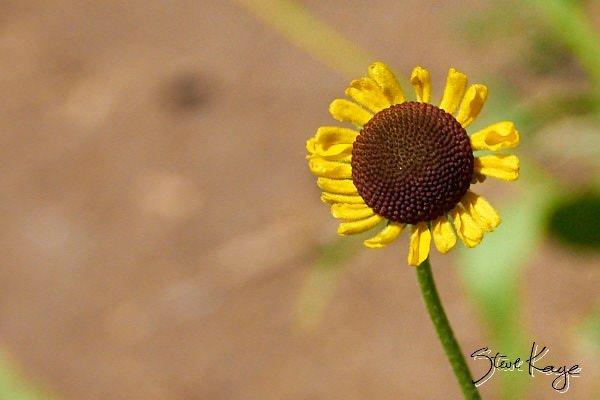 """Bigelow Sneezeweed, in Photo Article: """"See Photos of Flowers"""" by Steve Kaye"""