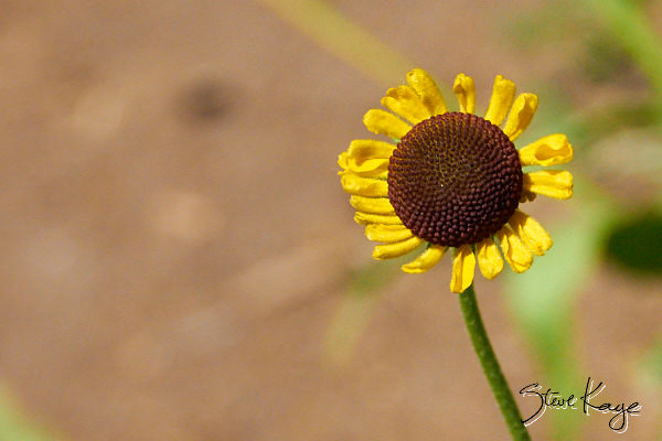 "Bigelow Sneezeweed, in Photo Article: ""See Photos of Flowers"" by Steve Kaye"