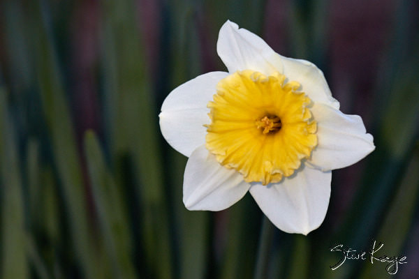 "Daffodil, in Photo Article: ""See Photos of Flowers"" by Steve Kaye"