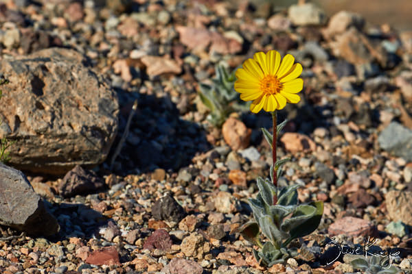 "Desert Gold, in Photo Article: ""See Photos of Flowers"" by Steve Kaye"