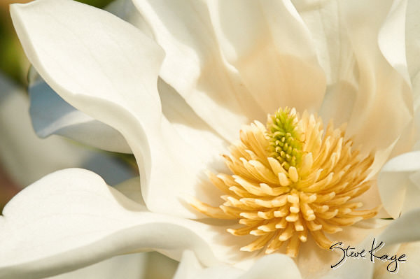 Magnolia, (c) Photo by Steve Kaye