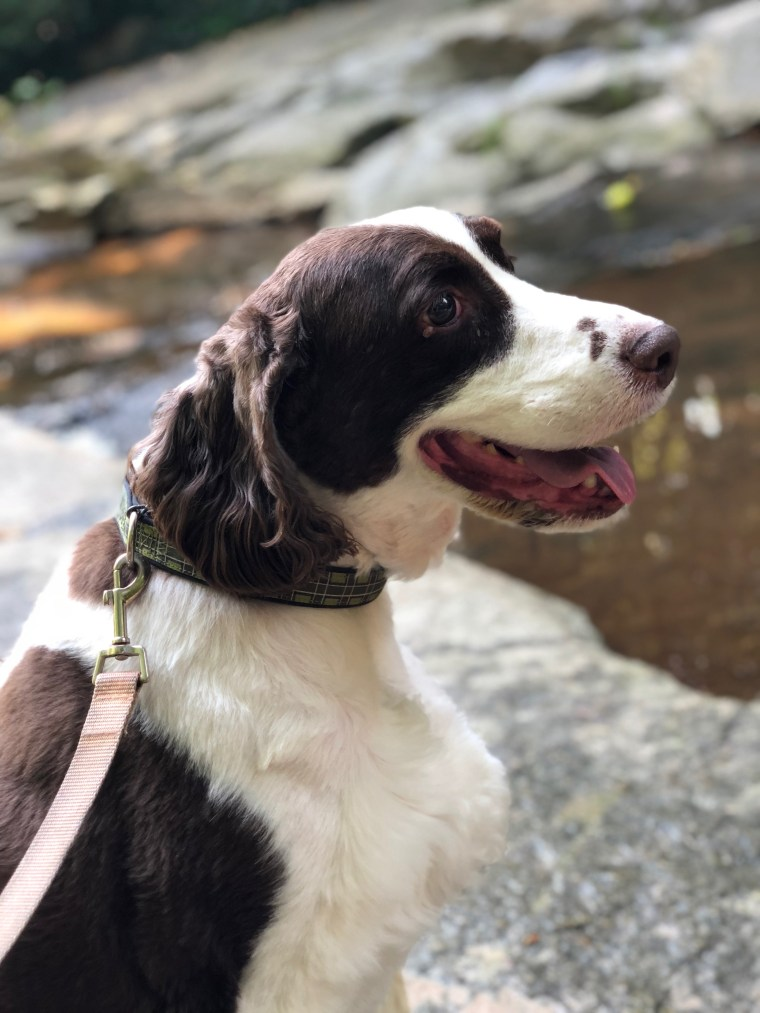 dog, English springer spaniel, Steve mckenzie's