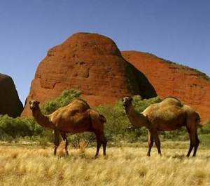 Complicated Camels of the Outback