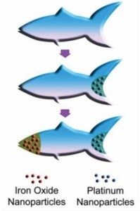 Functionalizing the microfish with nanoparticles (W. Zhu and J. Li, UC San Diego Jacobs School of Engineering)