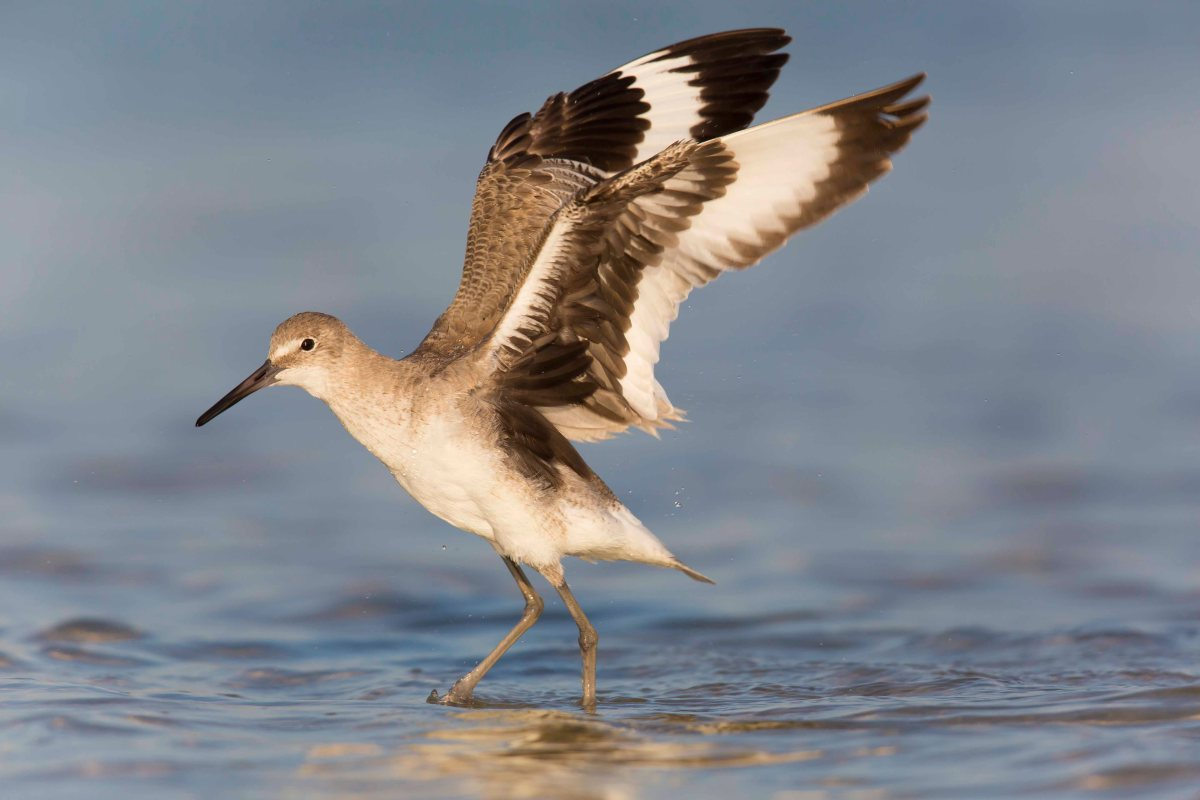 Willet with wings up - Original capture