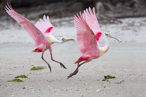 Roseate Spoonbills fighting for territory
