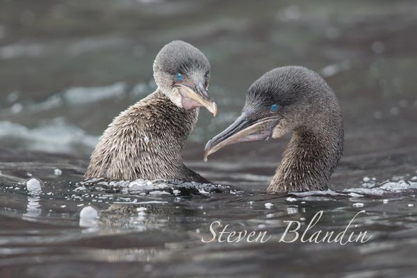 Flightless Cormorant - Fernandina Island, Galapagos