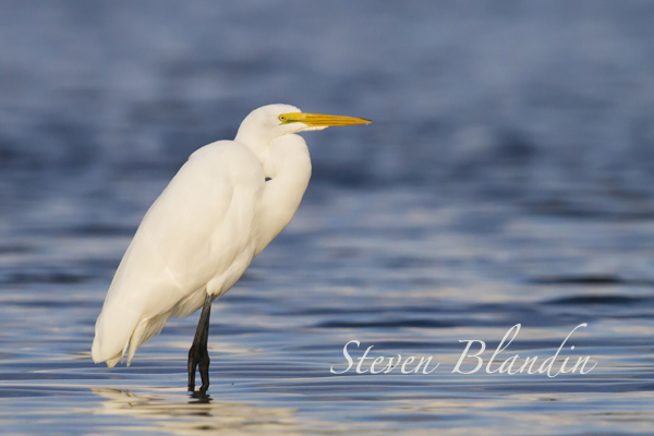 Great White Egret - Long Bar Pointe, Sarasota Bay
