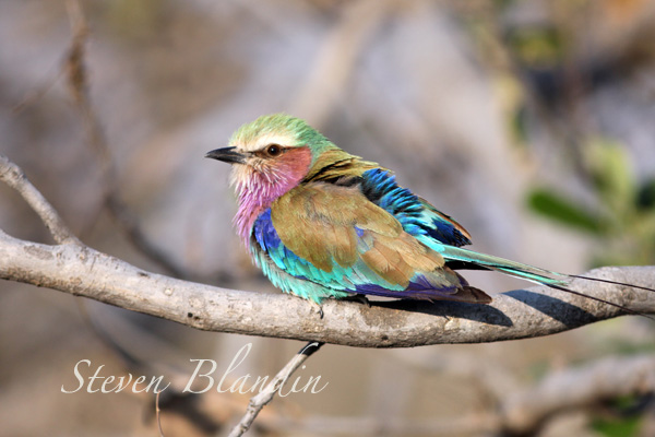Lilac breasted Roller - African safari