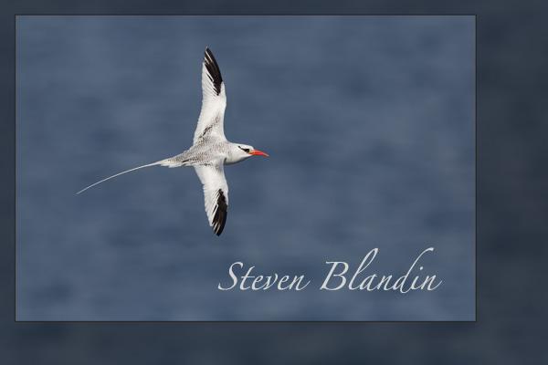 Red-billed Tropicbird flight - Galapagos Islands
