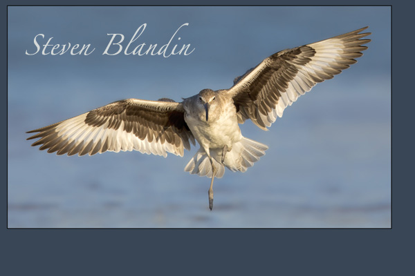 Willet landing - Fort Desoto - Steven Blandin