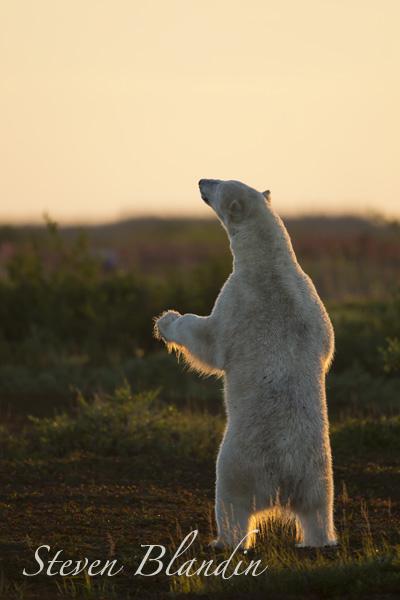 Polar Bear standing - Hudson Bay, Canada.