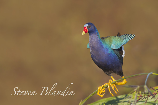 Purple Gallinule (Porphyrio martinicus) - Circle B Bar photo tour