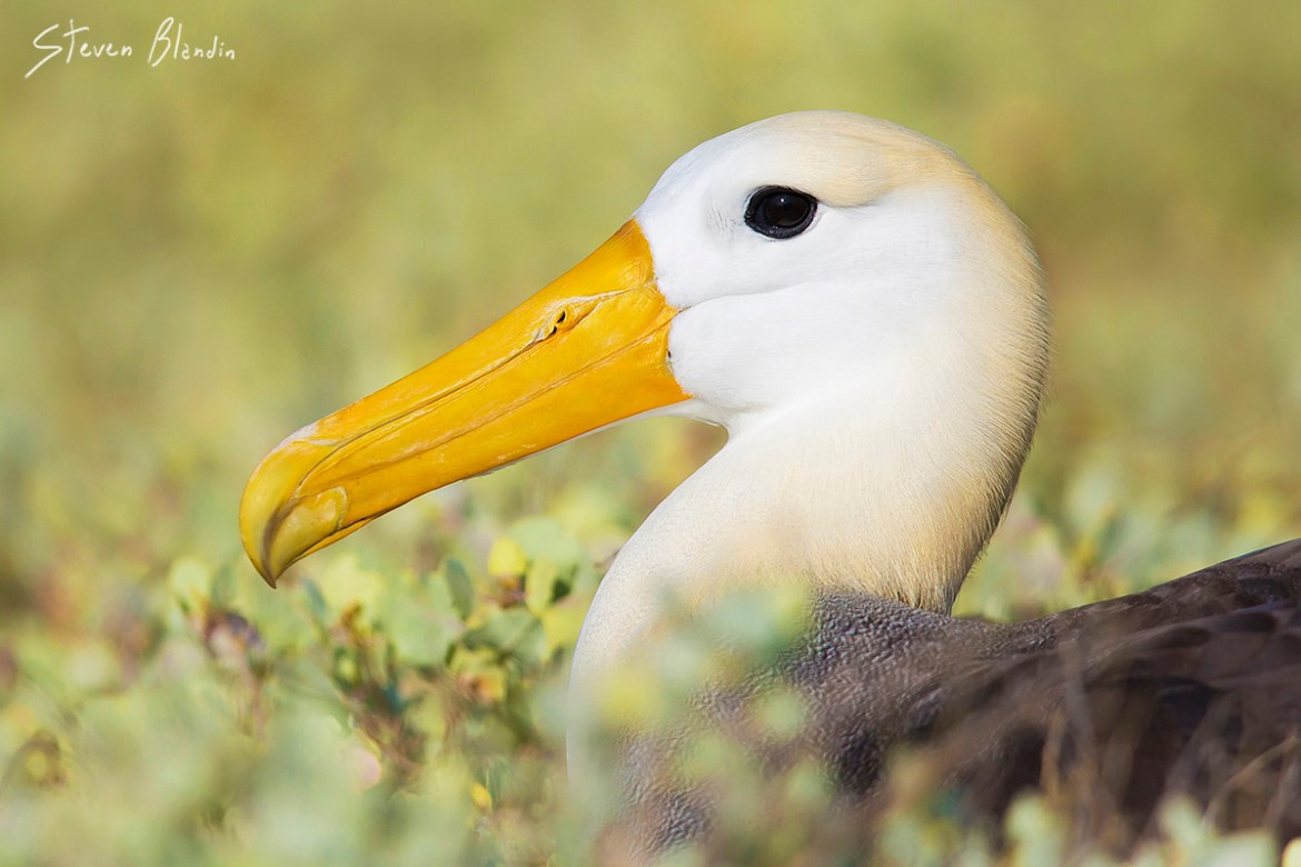 Galapagos Waved Albatross