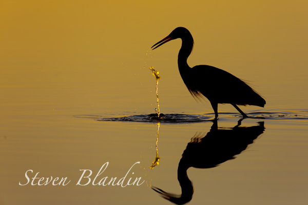 Reddish Egret silhouette - Florida photography tour