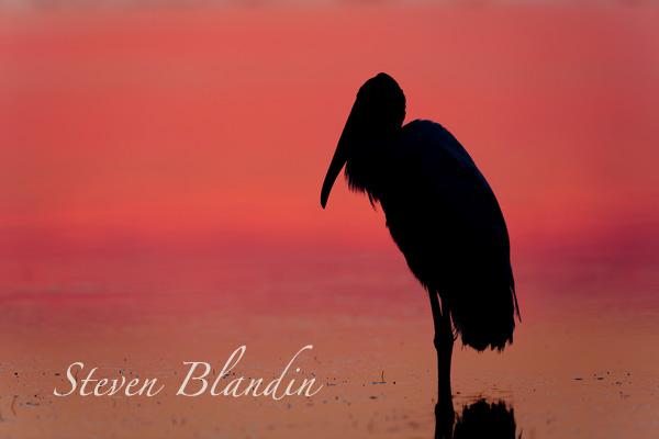 Wood Stork silhouette - Florida bird photo tour