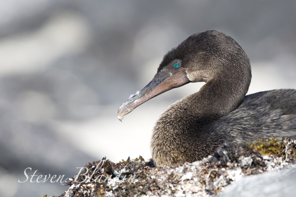 Flightless Cormorant on its nest - Galapagos photography tour