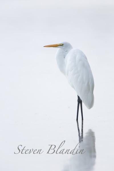 Great White Egret - Florida photography workshop