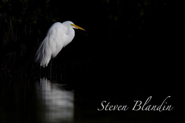 Great White Egret - Florida photography tour